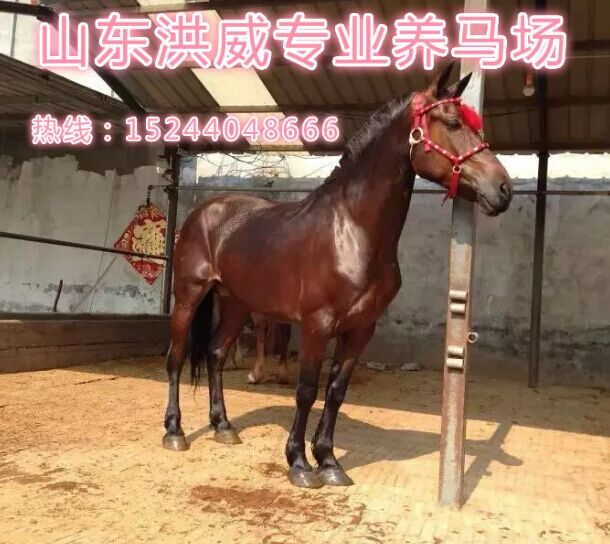 丽江什么地方有半血马出售、在哪能买到骑乘用马