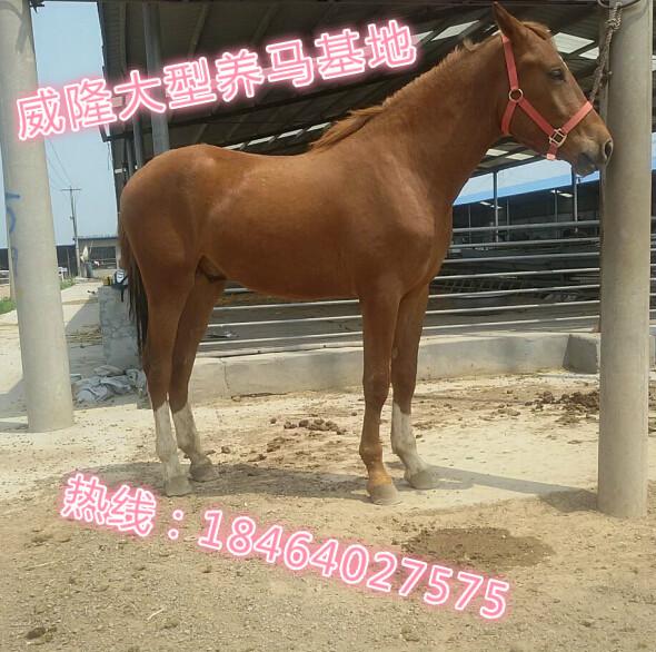 鹤岗哪里有训好的马出售、现在哪里有养马的