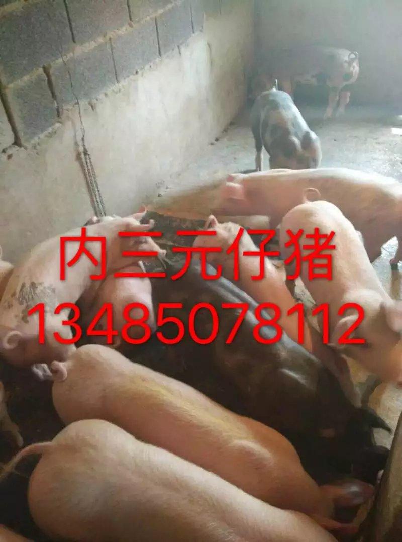 乐山太湖母猪厂家低价出售