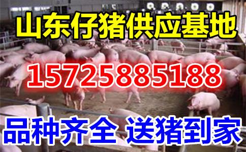 山东苗猪市场批发价格仔猪价格市场行情