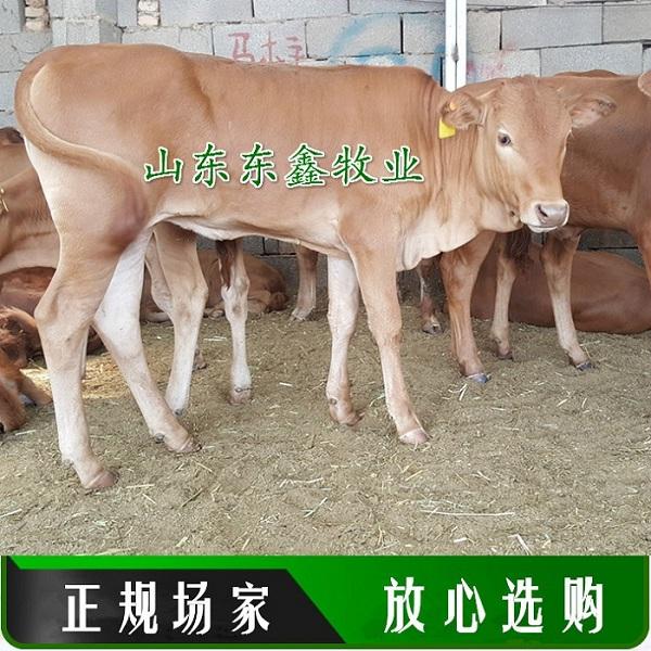 万源改良肉牛、年底价格