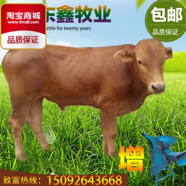 鄂托克旗种牛、年底价格