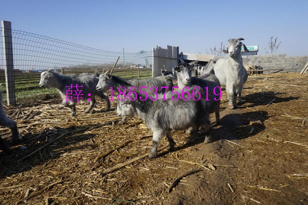 羊肉和什么一起吃、常年销售无激素羊和羊肉