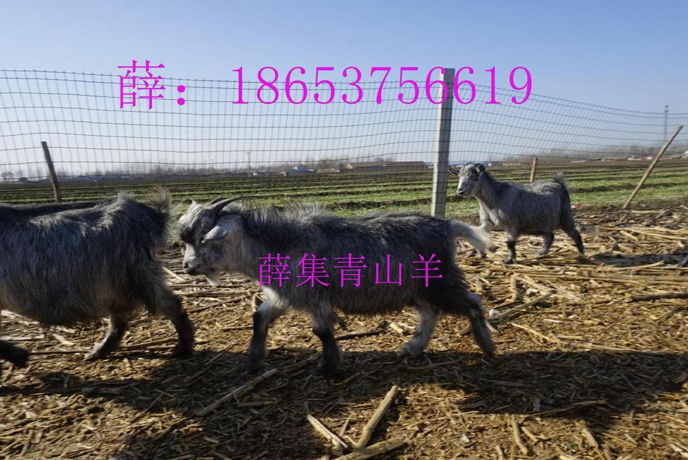 哪里买新鲜羊肉、农家山羊肉、青山羊简介