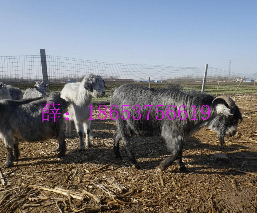 山羊引种必须注意方面、羊肉的价格