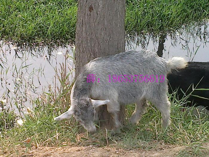 青山羊、绿色无激素青山羊、山羊肉