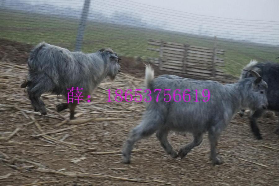 2016年羊肉的价格、山羊的行情