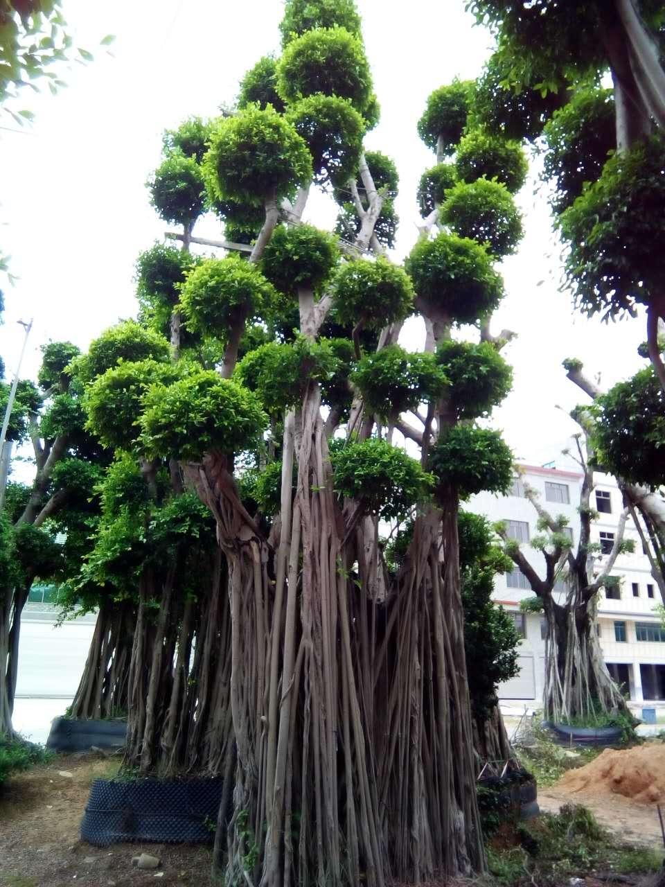 造型榕树价格