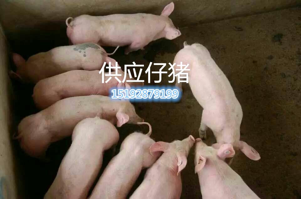 仙游县代理沂南猪场仔猪关注30左右三元|长白|杜洛克|等价格听说260元包送到