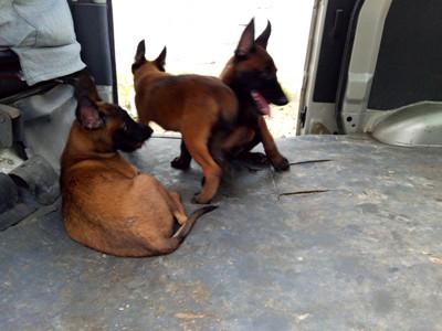 北京市近期马犬幼犬价格怎样
