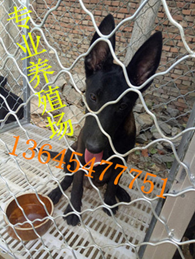 基多血统比特犬犬舍养殖场湖南常德