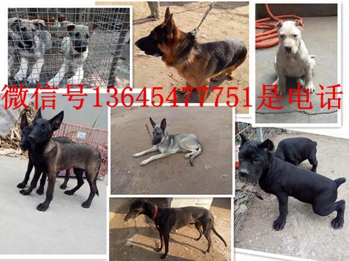 红塔区专业猎犬养殖场