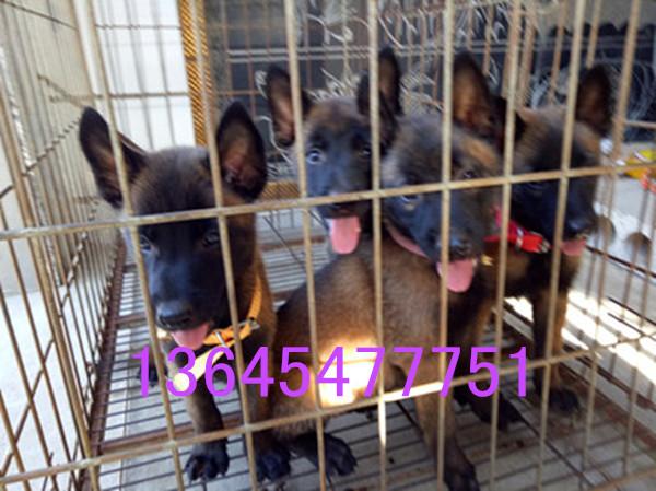 中华狼青犬养殖场兴平市哪里有卖纯种幼崽黑熊犬小狗的