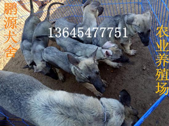狼青犬3个月多少钱一个鲅鱼圈区有卖魔界黑狼犬的吗