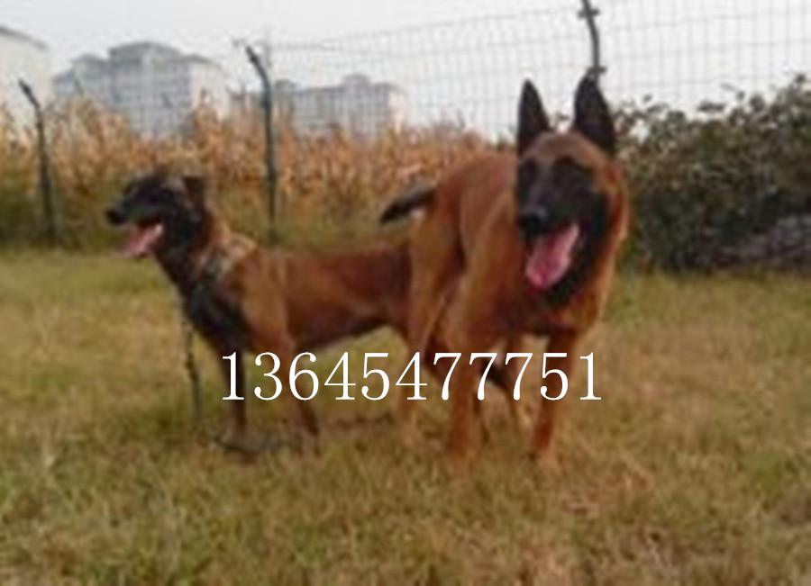 黑马犬哪里有卖的徐州市纯种黑熊犬幼崽小狗哪里有卖的