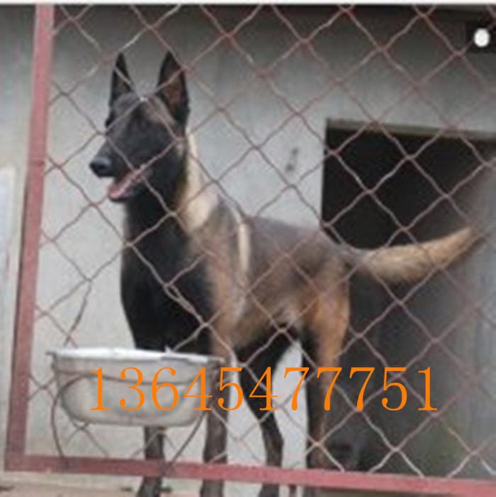 大型狼青犬养殖场石狮市黑熊犬养殖场