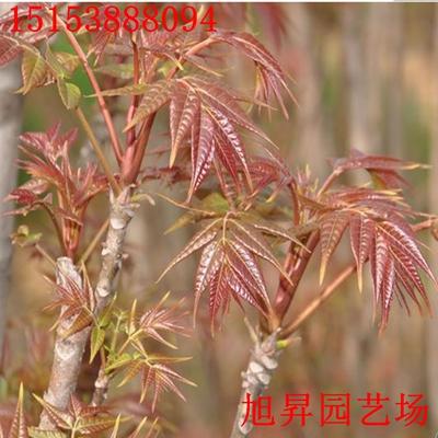 花椒树幼、i1修剪视频