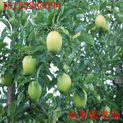 烟0号6号苹果苗报价唐山烟0号6号苹果苗哪里好_果树