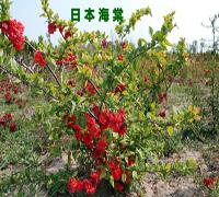 米径2公分海棠树苗价格