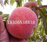2017桃树苗新品种、晚熟桃树苗品种、早熟桃苗品种