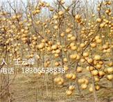 晚秋黄梨市场价多少钱一斤、晚秋黄梨苗多少钱一棵