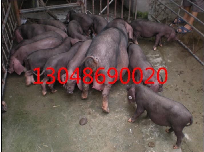 株洲今日苏泰母猪繁殖