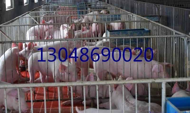 南充苏太黑母猪繁殖基地