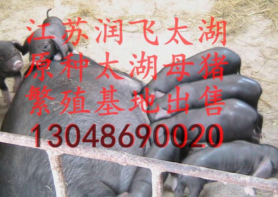 红河州今日杜洛克苗猪行情哪里有苗猪市场