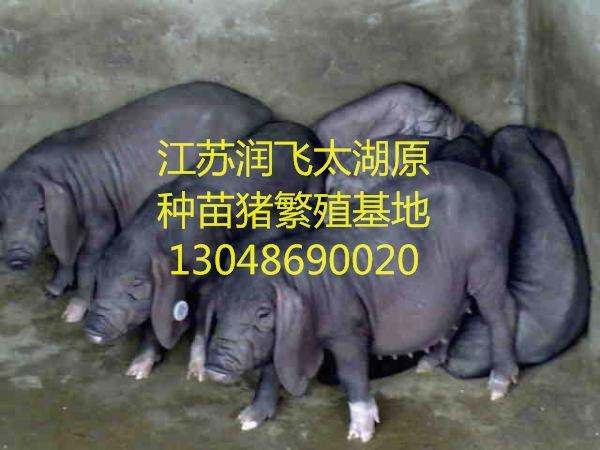 朝阳今日新淮猪仔市场哪里有苗猪市场
