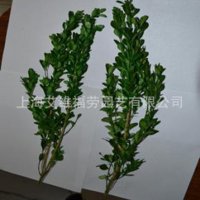 保鲜黄杨 preserved boxwood 厂家直销 保鲜黄杨技术转让