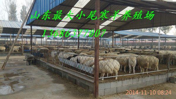 供应小尾寒羊市场价格 小尾寒羊母羊多少钱一只