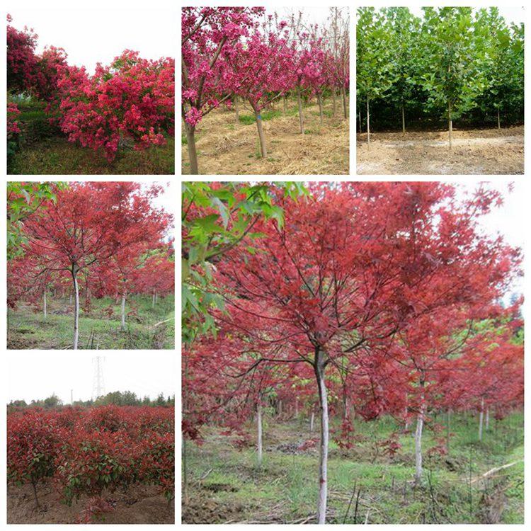 是道路绿化中经常使用的苗木植物,它生长的旺盛,树姿漂亮,观看价值极佳。榉树每年的初春3月上旬~4月上旬是开花的时间,榉树树叶颜色是紫蓝色,在生长全程随着气候气温的不一样,叶子颜色也不断不同。花朵的色调也受到温度环境和土壤环境的部分影响,而不一样。