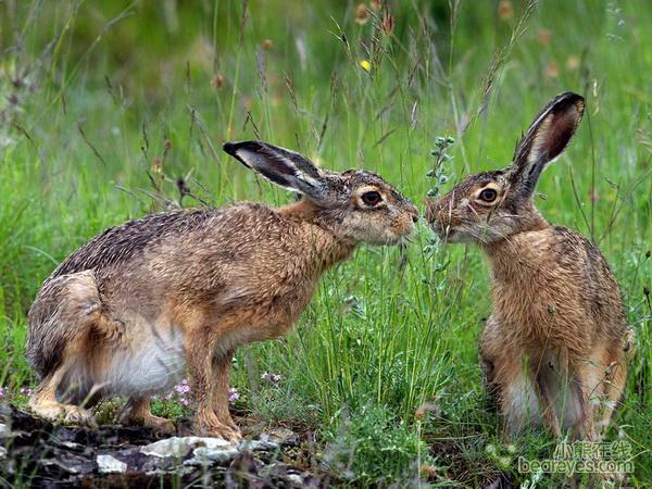 黔西南野兔供应15264774485