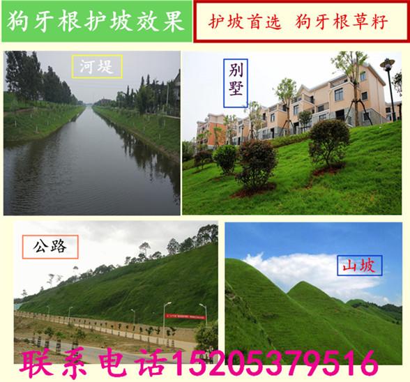 上海省长宁区紫羊茅和高羊茅