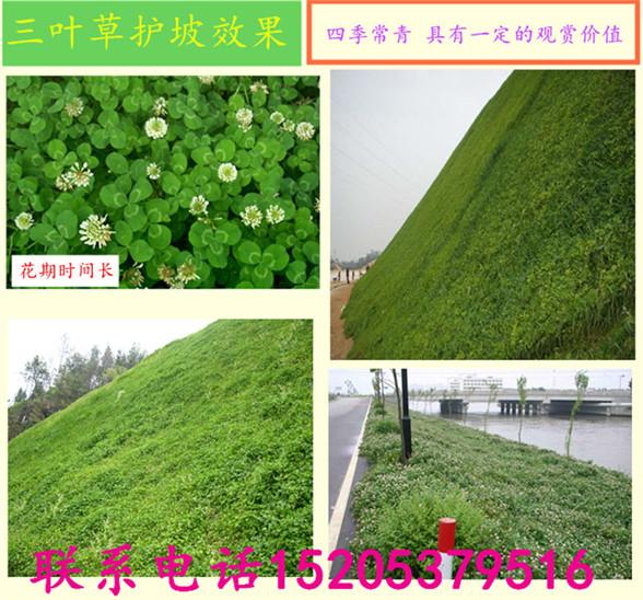 陕西省西安市地区护坡草种子