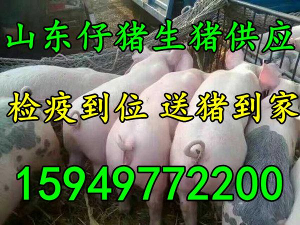 山东仔猪养殖基地仔猪苗猪供应