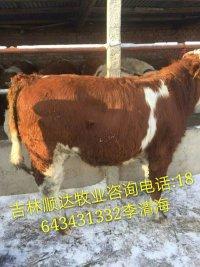 育肥牛哪里质量好价格低