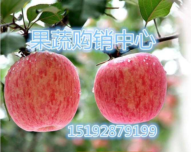 平安夜红星苹果高阳山东红富士苹果产地、加盟商