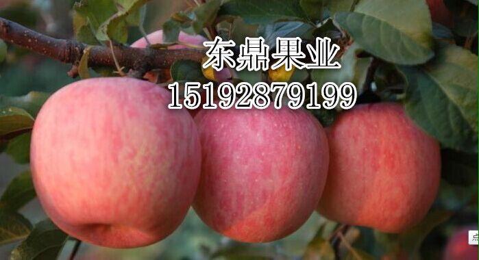 2017年富士苹果价格第六代新红星苹果特点
