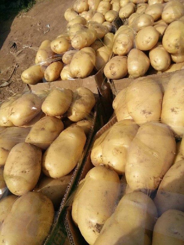 4月份滕州新土豆陆续开始上市   欢迎客商【采购商】到田间地头考察【订购】