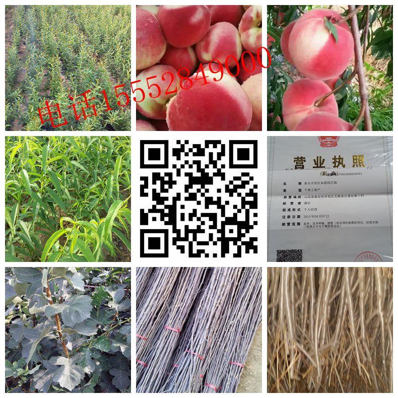 孝感章姬草莓苗厂家种植基地
