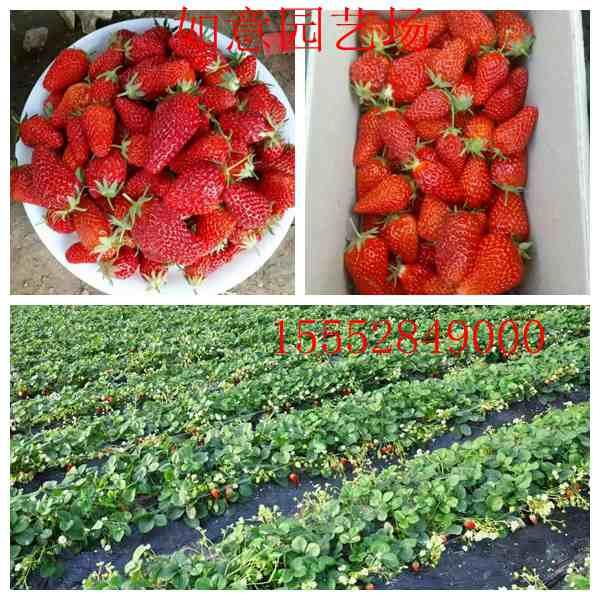 桂林章姬草莓苗厂家怎么卖
