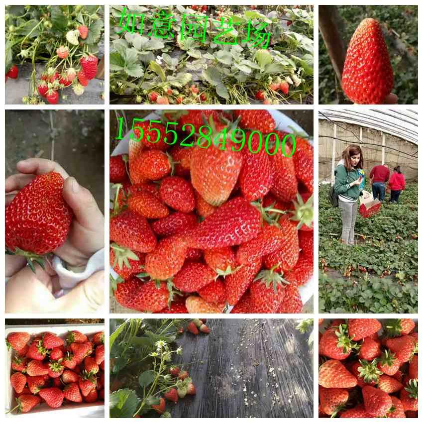 宁德章姬草莓苗厂家出售