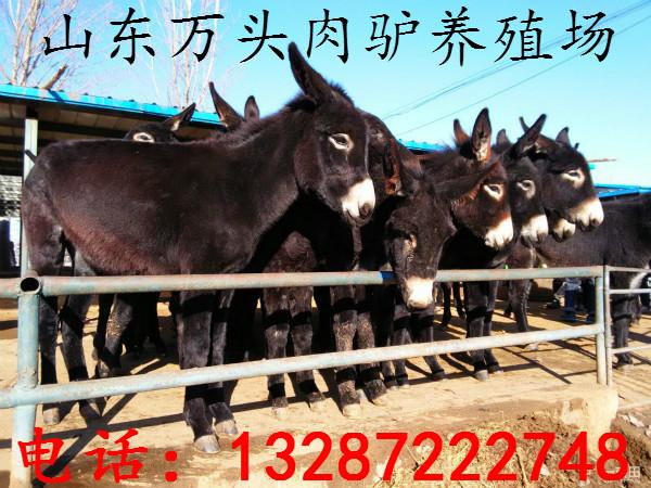 济宁肉驴养殖场大量供应 德州驴 乌头肉驴 肉驴苗