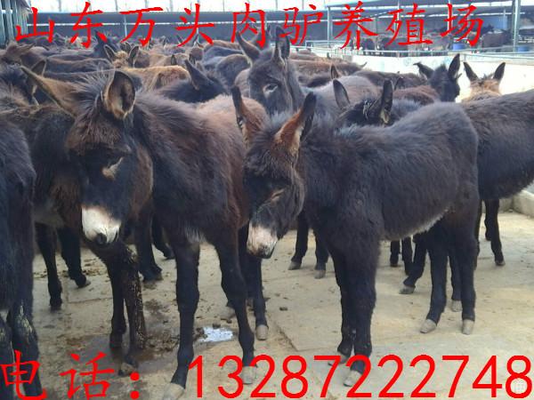 300头德州驴肉驴驴苗种驴活体供应、肉驴会得哪些疾病货到付款