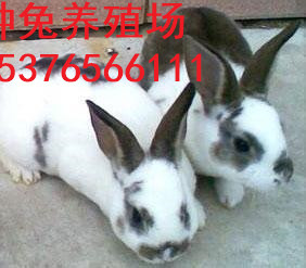 黄石市优质比利时肉兔种兔、种兔价格