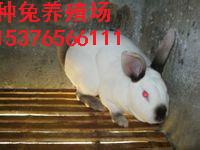 潮州市长毛兔品种、安哥拉长毛兔与珍珠系长毛兔