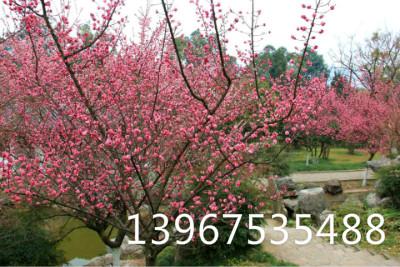 微信头像红梅 风景