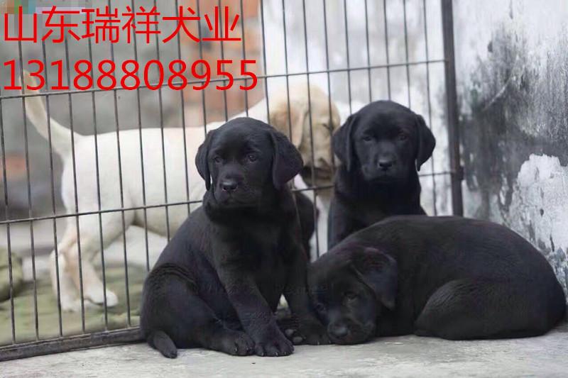 拉布拉多幼犬价格、拉布拉多犬养殖场、拉布拉多犬幼犬多少钱一只