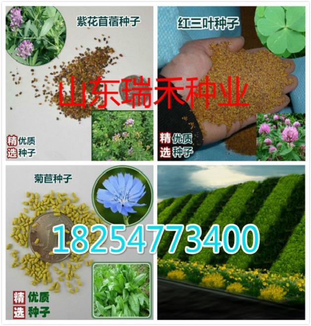 内蒙古锡林郭勒盟休闲草坪种子草种的选择
